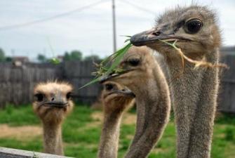 """Приокско-террасный заповедник – страусиная ферма. """"В гости к страусам и зубрам"""""""
