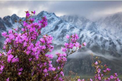 Цветение маральника на Алтае. Алтай весенний.(5 дней + авиа) ХИТ!