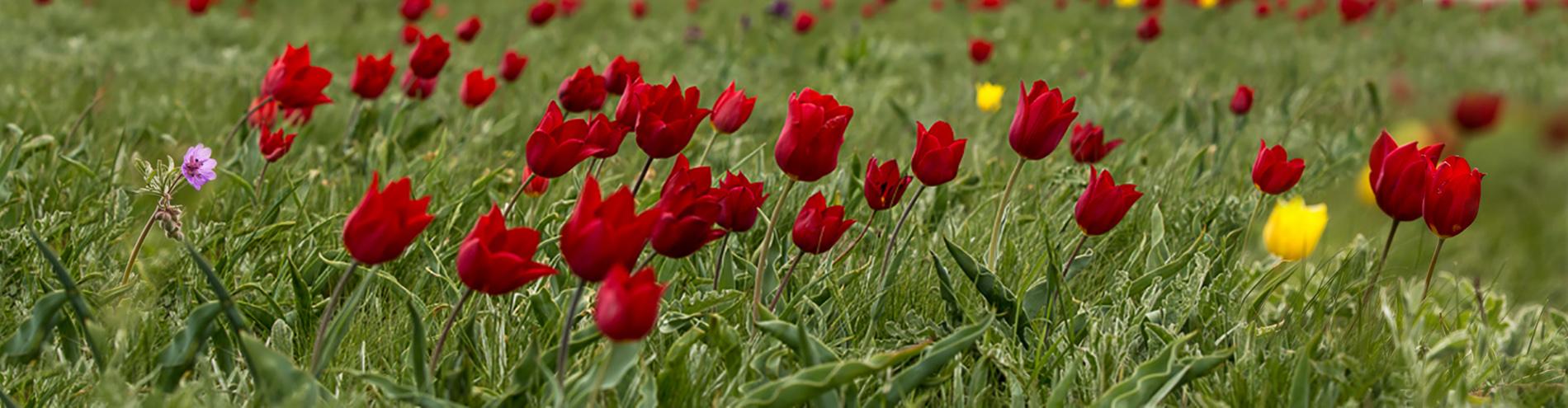 Тюльпановая мистерия